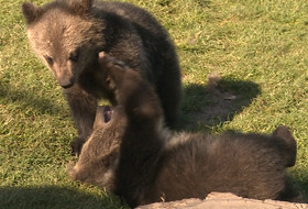 Grizzly bear cubs get front row seat at 2015 Pac-12 Men's Golf Championships