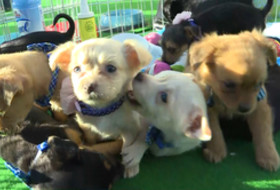 2018 Pac-12 Football Championship Game: Several puppies from Finding A Best Friend Rescue steal the spotlight in Santa Clara