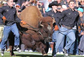 Colorado's Live Buffalo Mascot, Ralphie V, To Retire